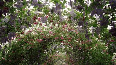 Un recorrido por las 2.500 clemátides cultivadas para el Chelsea Flower Show de este año