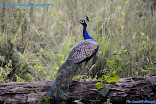 Peacock in Jaldapara National Park