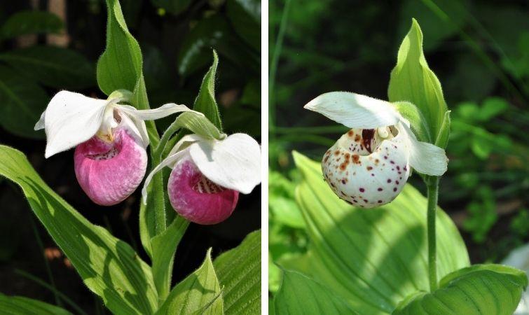 Gartenorchideen