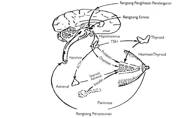 Gambar 4.Refleks aliran dan pengawasan hormonal terhadap laktasi