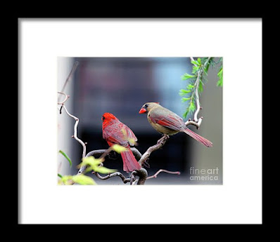 This is a screen shot of a  framed photograph that's available via Fine Art America. It features a couple of cardinals perched on a branch. The female (brownish) is on the right while the male (red) is on the left. Info re this print is @ https://fineartamerica.com/featured/cardinal-love-3-patricia-youngquist.html?product=framed-print