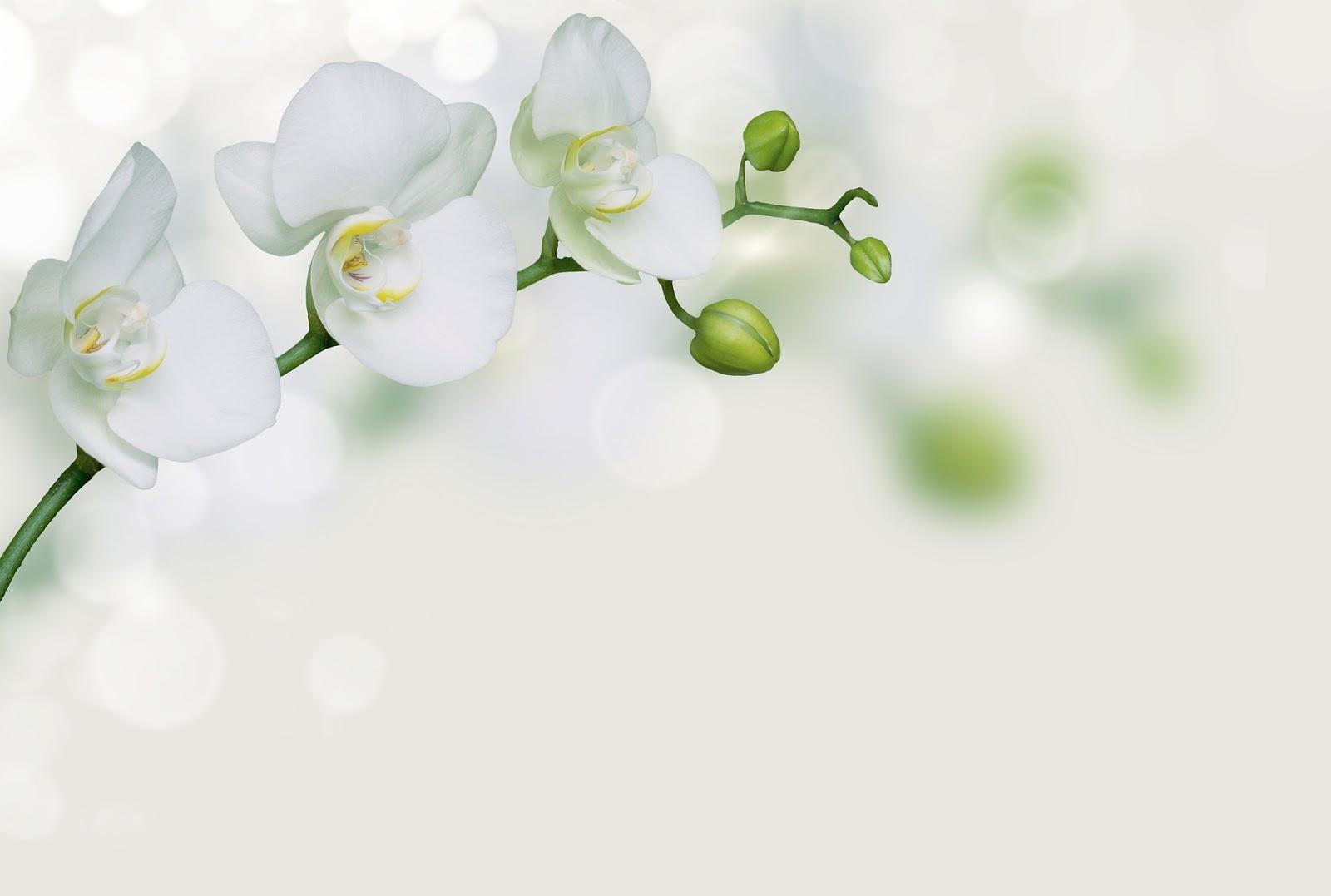 Gambar bunga anggrek bulan