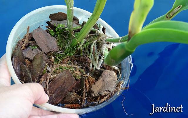 Folhas murchas... Excesso ou falta d'água?