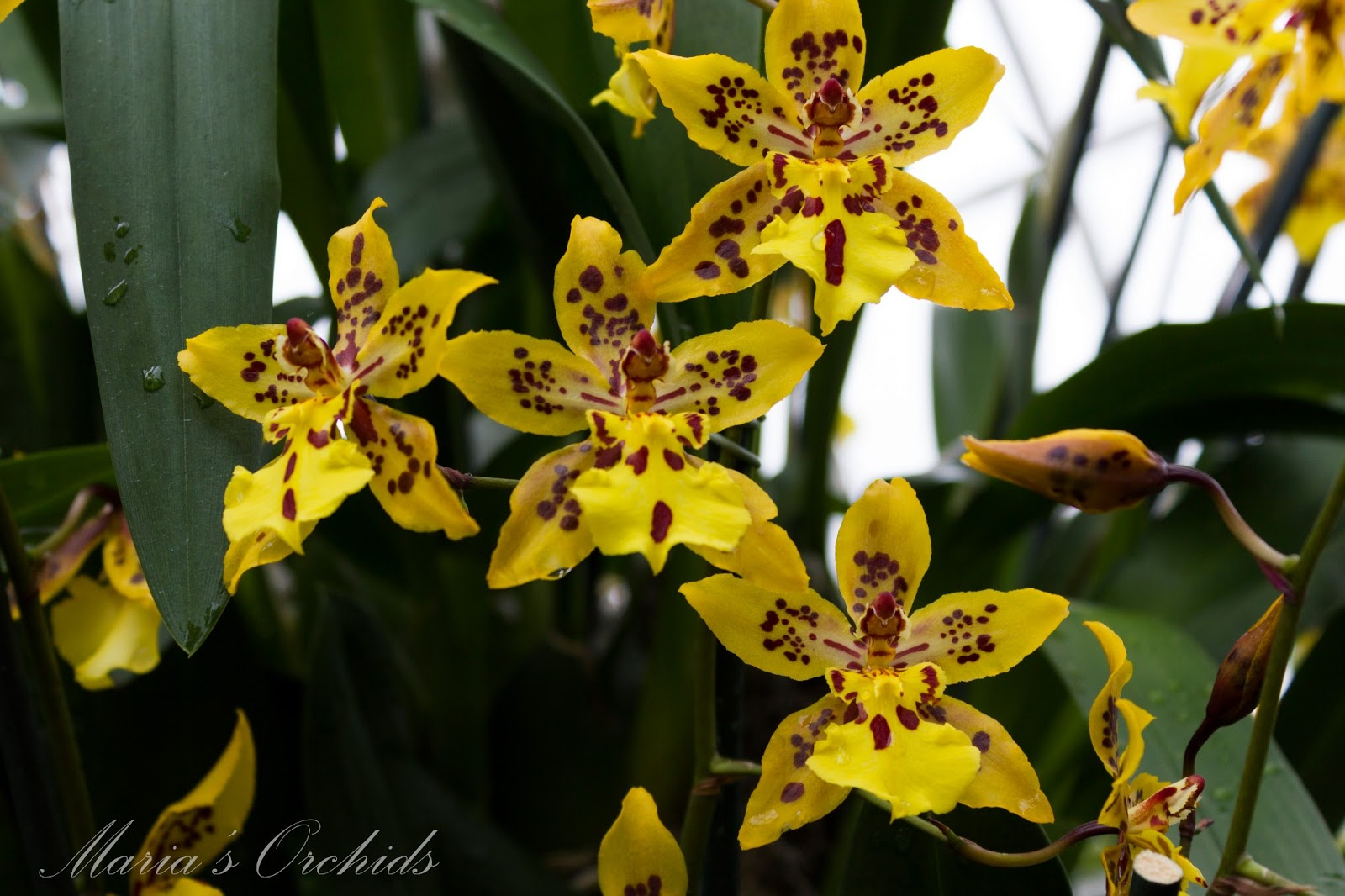 Marias Orchids New York Orchid Show 2013 Oncidiums