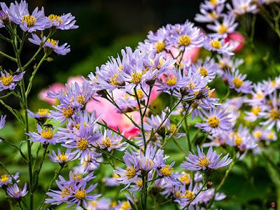 Shion (Aster tataricus) flowers: Kaizo-ji