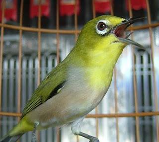 Burung Pleci - Cara Merawat Burung Pleci Agar Cepat Bunyi