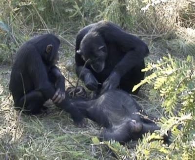 «Νεκρική τελετή» χιμπαντζίδων είδαν για πρώτη φορά οι επιστήμονες