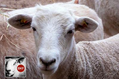 Tips Pintar Memilih Domba Qurban