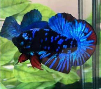 Jenis Ikan Cupang Avatar