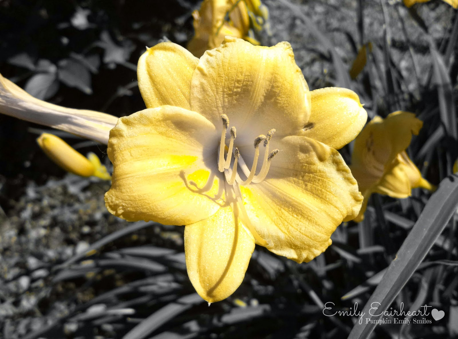 Black and white background and a yellow Lily