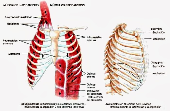 Pleura y Pulmones - Sistema respiratorio