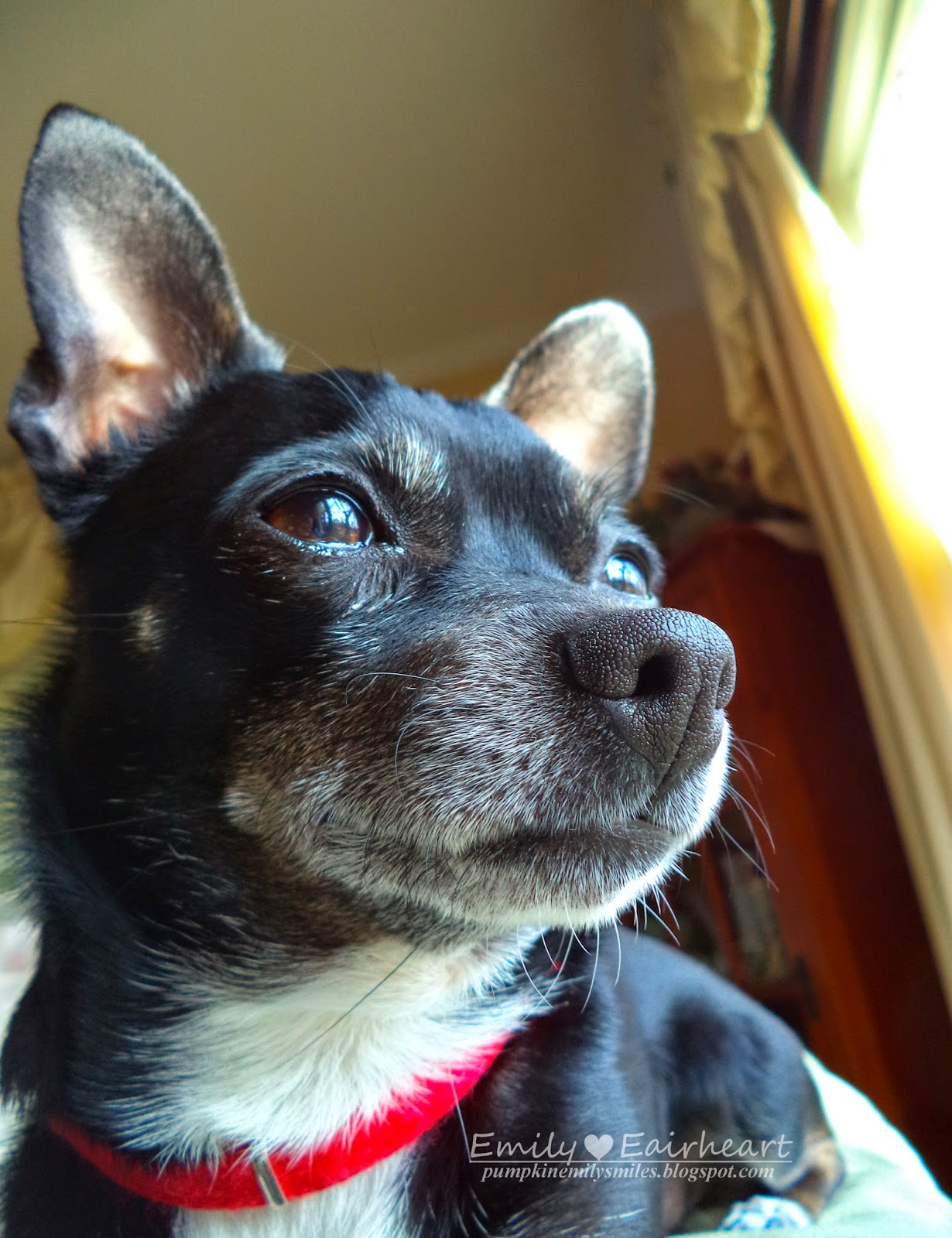 Minnie, Chihuahua, sitting on top of couch watching for enemies.