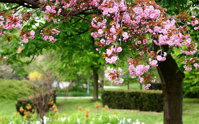 Boom met roze bloesem in de lente