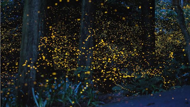 Πυγολαμπιδες σε δάσος, Ιαπωνία