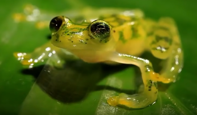 See Throught Frog