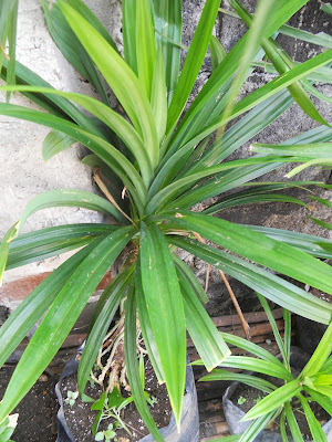 my potted pandan or screwpine plant