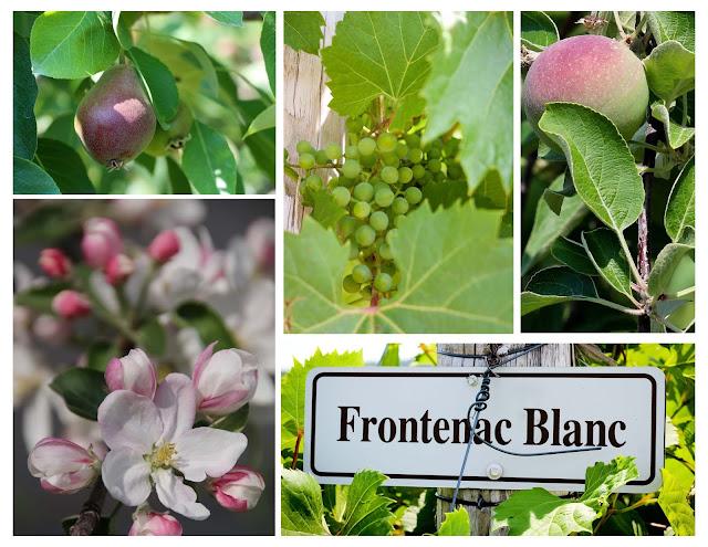 fleur-de-pommier,verger,pomme,poire,fleur-de-pommier,quebecois,gin,dandy,domaine-lafrance,madame-gin