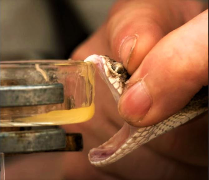 Venom is Extracted from a Snake.