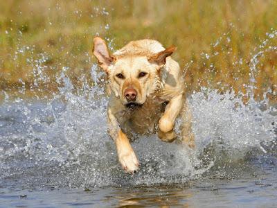 Ejercicio perro Labrador