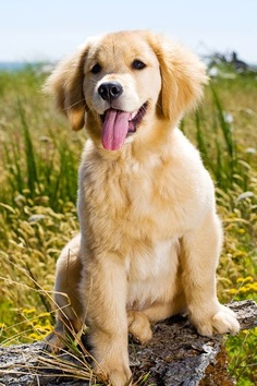 golden retriever lifespan golden retriever life expectancy annie many 7927