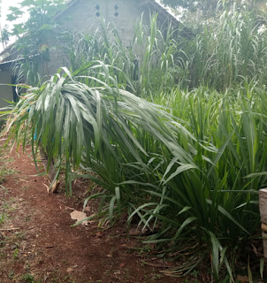 jual bibit rumput napier pakchong Madani Farm Jogja Bantul