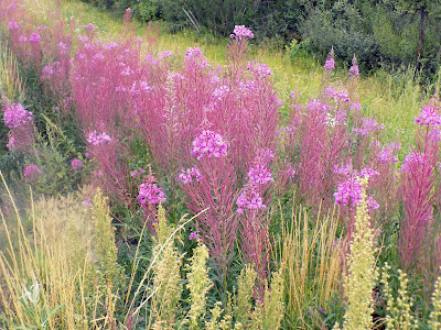 Fireweed Line the Highways