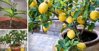 Grow An Infinite Amount Of Lemons At Home