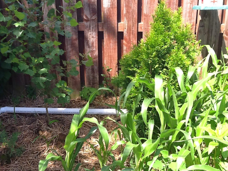 Suburban Backyard Farm: Phase 5 our Mid-Summer Updates
