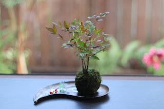 金属釉の勾玉のお皿の上のナンテンの苔玉