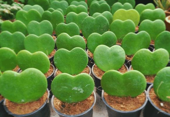 Natureza-Hoya-Kerrii