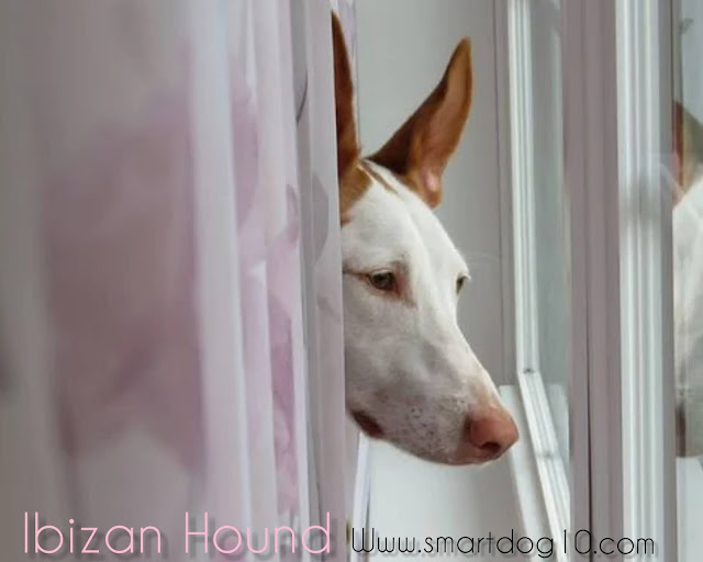How much does an Ibizan Hound cost