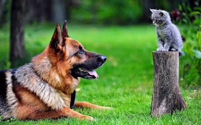 صور كلاب جرمن,صور كلاب جيرمن,صور كلاب جيرمن شيبرد,صور الكلاب الجيرمن,صور كلاب الجيرمن,صور كلاب جرمن 2019,اجمل صور الكلاب,