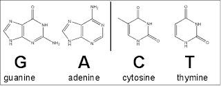 DNA adalah suatu asam nukleat  yang menyimpan segala informasi biologis yang unik dari set DNA (Pengertian, Struktur, Fungsi, Sifat, Replikasi)