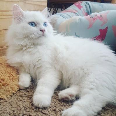white Persian pedigree cat