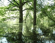 Natuurlijk hardhout ooibos in de uiterwaarden langs de IJssel tijdens hoogwater. Bron: http://www.ru.nl/nieuws-agenda/nieuws/vm/iwwr/2017/ruimte-rivieren-leidt-biodiversiteit/