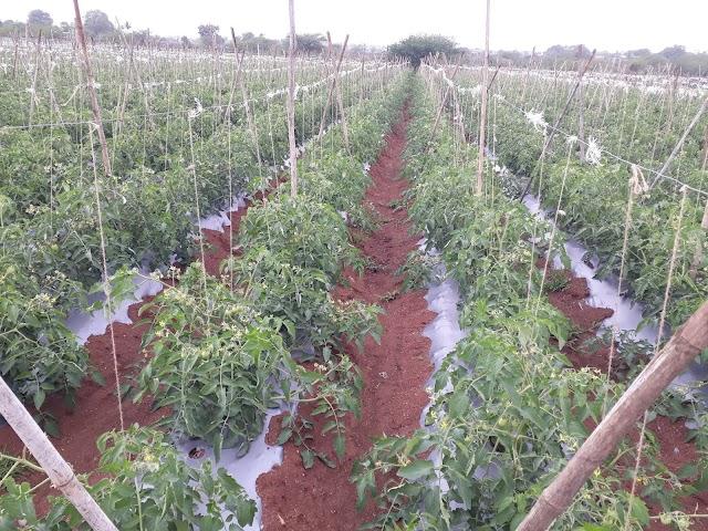 Tomato karpa niyantran,tomato lagvad mahiti,tomato lagvad ani samasya करप्या रोगासाठी उपाय ,tomato karpa niyantran.