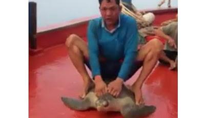 Nelayan tunggangi penyu hasil tangkapan