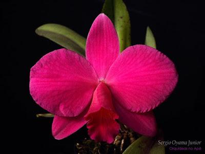 Orquídea Sophrolaelia Orpetii