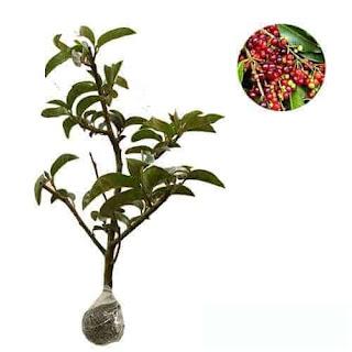 bibit-tanaman-buah-buni-.jpg
