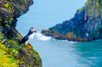 Icelandic puffin overlooking a fjord during July's nesting season