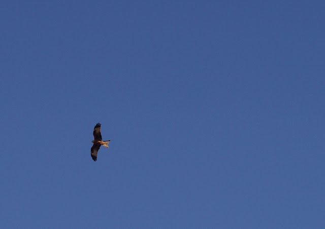 red kite in Norfolk
