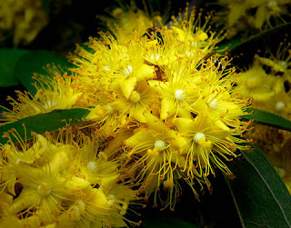 ต้นรวงผึ้ง (Yellow star) ดอกสีเหลืองสดใส