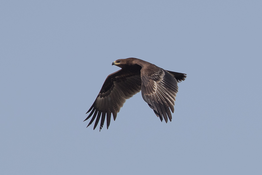 Greater Spotted Eagles – Jubail