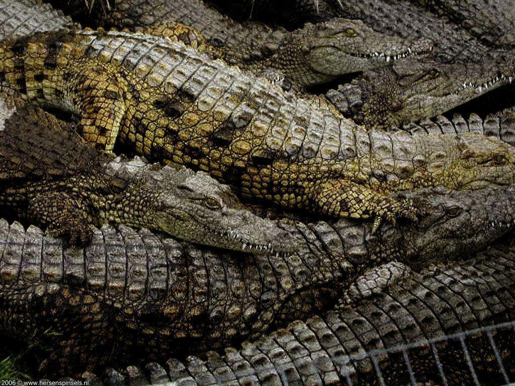 alligator animal wallpapers