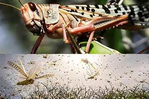 इतनी भारी मात्रा में ये टिड्डे (Locusts) हमले क्यों हो रहे हैं?