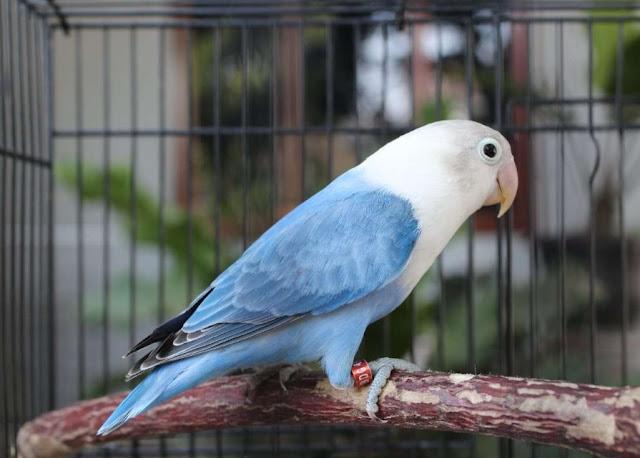 Lovebird Biola Blue