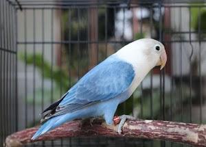 7 Jenis Burung Lovebird Termahal, Cocok untuk Budidaya