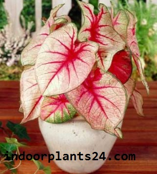 CALADIUM X HORTULANUM plant PHOTO