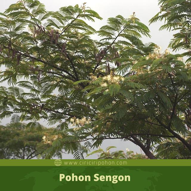 Ciri Ciri Pohon Sengon