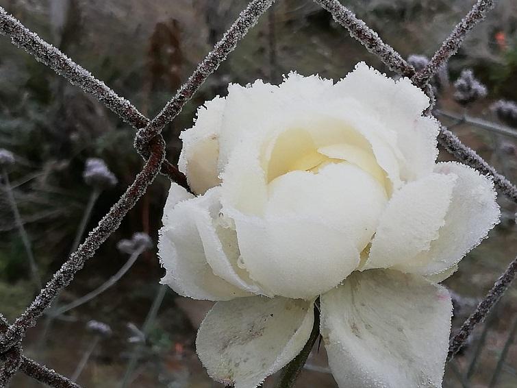 Eisrose im Wintergarten
